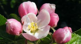 Apple-Blossom-for-Jesus