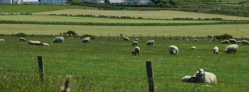 Sheep-Grazing-Banner©Danson's
