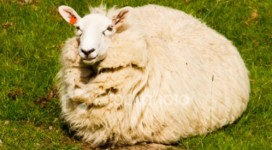 fat-happy-sheep-in-green-pasture